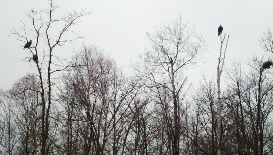 Bald eagle nesting pair near the Necktie River, Hubbard County, MN.