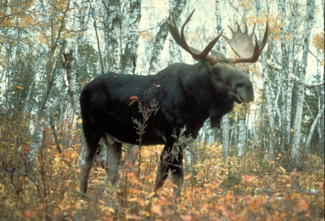 Moose, Superior National Forest, Minnesota, USA, by USDA Forest Service