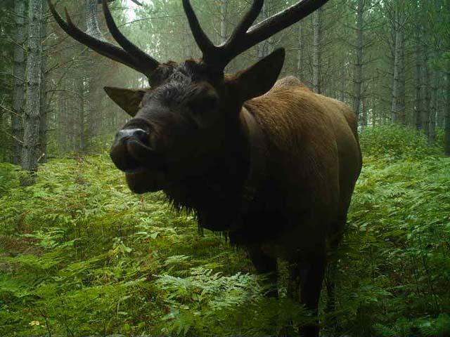 "A Bull elk taking a ""selfie' near Clam Lake - Wisconsin DNR."