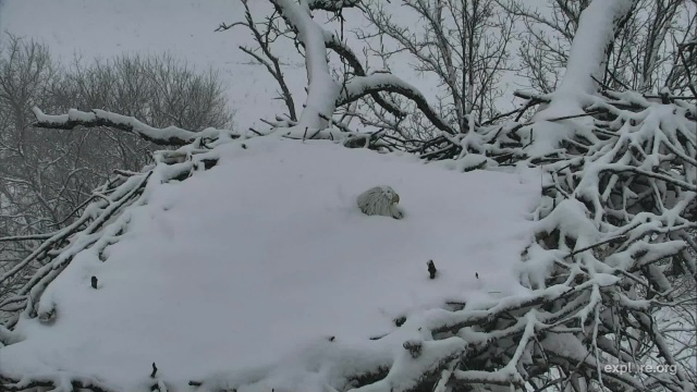 Decorah North Nest female incubates two eggs in the April 18th snowstorm - Decorah, IA (Explore/RRP Decorah North Eagles Livecam)