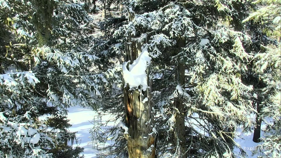 Douglas Fir Snag Nest Tree - Charlo, MT (Explore/ORI Great Gray Owl Livecam)