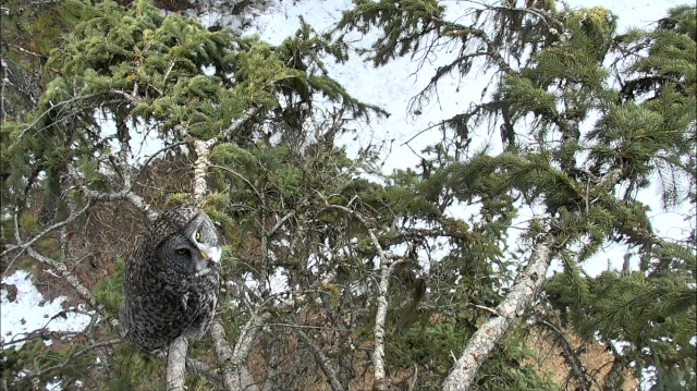 Great Gray Owl in Camera Tree - Charlo, MT (Explore/ORI Great Gray Owl Livecam)