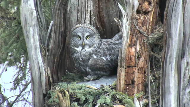 Great Gray Owl in Snag Nest - Charlo, MT (Explore/ORI Great Gray Owl Livecam)
