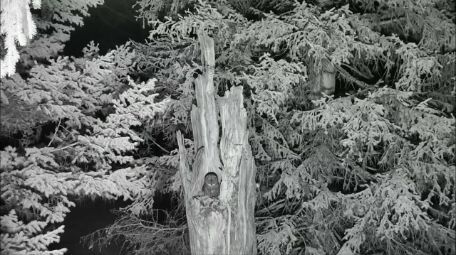 Great Gray Owl Late Night Visit to Nest Tree - Charlo, MT (Explore/ORI Great Gray Owl Livecam)