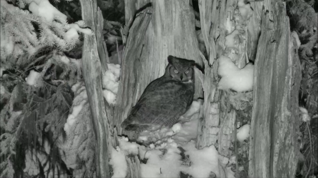 Great Horned Owl Invades the Snag Cavity - Charlo, MT (Explore/ORI Great Gray Owl Livecam)