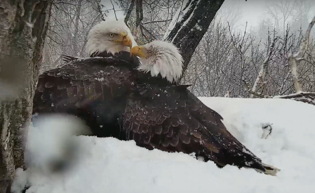 Mom and Dad Decorah work together to keep the eaglets warm and fed in April 18th snow - Decorah, IA (Explore/RRP Decorah Eagles Livecam)
