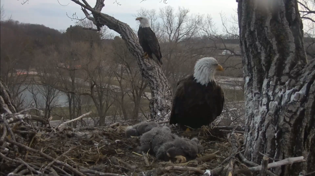 Mom Decorah and the UME - Decorah, IA (Explore/RRP Decorah Eagles Livecam)