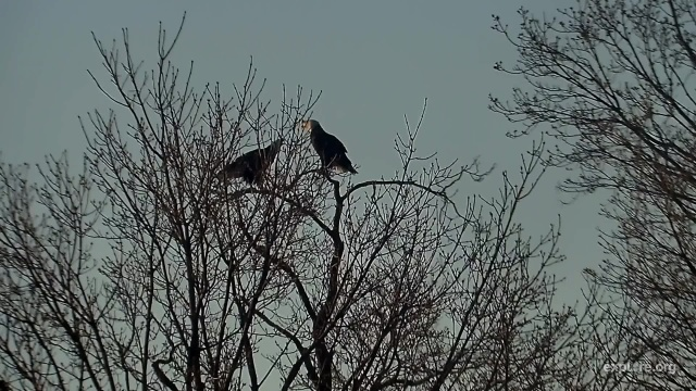 Mom Decorah and the UME perched together off the nest tree - Decorah, IA (Explore/RRP Decorah Eagles Livecam)