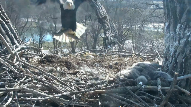 Mom Decorah's double trout delivery - Decorah, IA (Explore/RRP Decorah Eagles Livecam)
