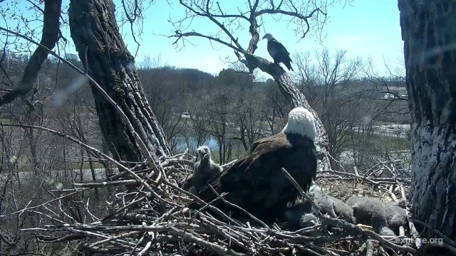 Mom Decorah on the nest while UME perches on the Skywalk - Decorah, IA (Explore/RRP Decorah Eagles Livecam)