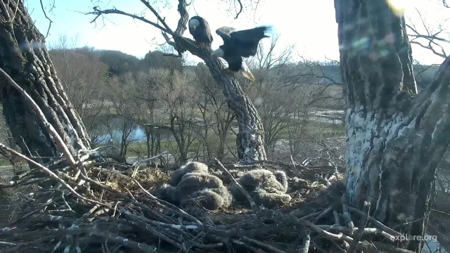 Mom Decorah vocalizing her displeasure with the UME attempting the inside perch to the nest - Decorah, IA (Explore/RRP Decorah Eagles Livecam)
