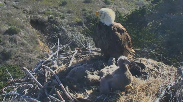 Sauces Nest's #A-48 (Mom) watches over her three eaglets - Santa Cruz Island, CA (Explore/CINP Sauces Bald Eagle Livecam)