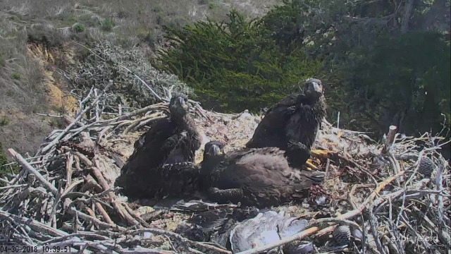 The three Sauces seven-week-old eaglets are about to be banded - Santa Cruz Island, CA (Explore/CINP Sauces Eagles Livecam)