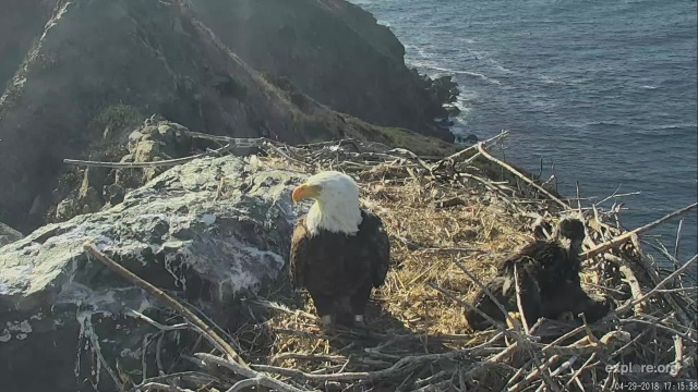 West End's Superman watches over his six-week-old eaglet - Catalina Island, CA (Explore/IWS West End Bald Eagle Livecam)